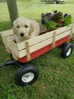 Goldendoodle Puppies for sale in Rich Creek, VA 24147, USA. price: NA