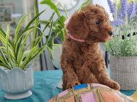Goldendoodle Puppies for sale in Punta Gorda, FL, USA. price: NA