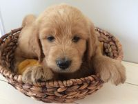 Goldendoodle Puppies for sale in Chatsworth, GA 30705, USA. price: NA