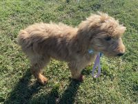 Goldendoodle Puppies for sale in Thousand Oaks, CA, USA. price: NA