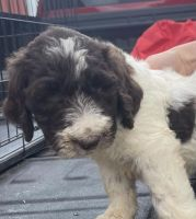 Goldendoodle Puppies for sale in Little Rock, AR, USA. price: NA