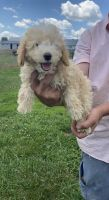 Goldendoodle Puppies for sale in Ligonier, IN 46767, USA. price: NA