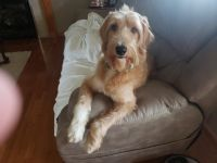 Goldendoodle Puppies for sale in Hurricane, WV, USA. price: NA