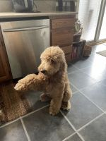 Goldendoodle Puppies for sale in Hanover, PA 17331, USA. price: NA