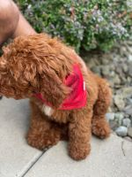 Goldendoodle Puppies for sale in Youngstown, OH, USA. price: NA