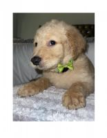 Goldendoodle Puppies for sale in San Bernardino, CA 92411, USA. price: NA