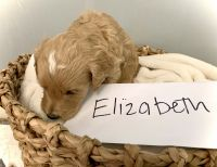 Goldendoodle Puppies for sale in Jacksonville, FL, USA. price: NA