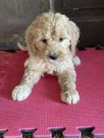 Goldendoodle Puppies for sale in Orleans, IN 47452, USA. price: NA