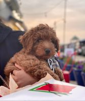 Goldendoodle Puppies for sale in Boston, MA, USA. price: NA