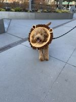 Goldendoodle Puppies for sale in New York, NY, USA. price: NA