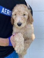 Goldendoodle Puppies for sale in Downey, CA, USA. price: NA