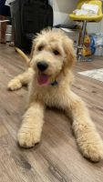 Goldendoodle Puppies for sale in Philadelphia, PA, USA. price: NA