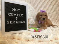 Goldendoodle Puppies for sale in Cypress Pkwy, Florida, USA. price: NA