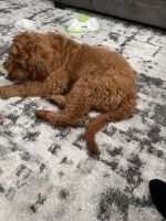 Goldendoodle Puppies for sale in Crofton, MD, USA. price: NA