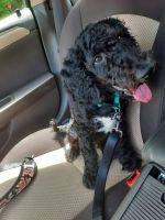Goldendoodle Puppies for sale in Williamsburg, VA 23188, USA. price: NA