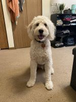 Goldendoodle Puppies for sale in Iowa City, IA, USA. price: NA