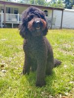 Goldendoodle Puppies for sale in Lake City, FL, USA. price: NA