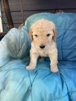 Goldendoodle Puppies for sale in Puyallup, WA, USA. price: NA