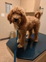 Goldendoodle Puppies for sale in Research Triangle, Durham, NC, USA. price: NA