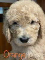 Goldendoodle Puppies for sale in Prophetstown, IL 61277, USA. price: NA