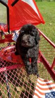 Goldendoodle Puppies for sale in Columbia, KY 42728, USA. price: NA