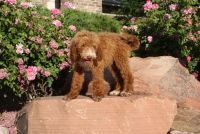 Goldendoodle Puppies for sale in Willard, UT 84340, USA. price: NA