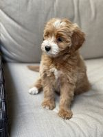 Goldendoodle Puppies for sale in Orange County, CA, USA. price: NA
