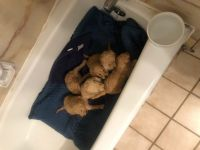 Goldendoodle Puppies for sale in West Bountiful, UT, USA. price: NA