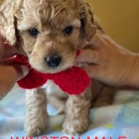 Goldendoodle Puppies for sale in Graham, MO 64455, USA. price: NA