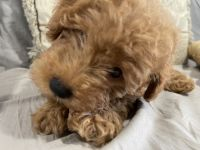 Goldendoodle Puppies for sale in Miami, FL, USA. price: NA