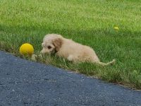 Goldendoodle Puppies for sale in Yorkville, IL, USA. price: NA