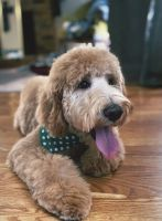Goldendoodle Puppies for sale in Lubbock, TX, USA. price: NA