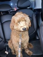 Goldendoodle Puppies for sale in Queens, NY, USA. price: NA
