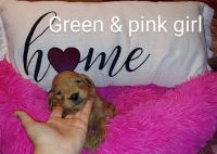 Goldendoodle Puppies for sale in Mineral Wells, WV 26150, USA. price: NA