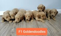Goldendoodle Puppies for sale in Cullman, AL, USA. price: NA