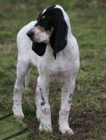 grand gascon saintongeois dog
