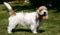 grand griffon vendeen dog