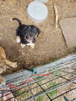 Great Dane Puppies for sale in Hamlet, NC 28345, USA. price: NA