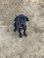 Great Dane Puppies for sale in Beaumont, CA, USA. price: NA