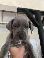 Great Dane Puppies for sale in Covington, GA, USA. price: NA