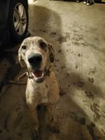 Great Dane Puppies for sale in Spring Hill, TN, USA. price: NA
