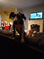 Great Dane Puppies for sale in Mesa, AZ 85207, USA. price: NA
