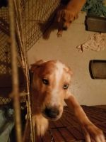 Great Dane Puppies for sale in Oklahoma County, OK, USA. price: NA