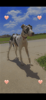 Great Dane Puppies for sale in Oklahoma City, OK, USA. price: NA