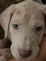 Great Dane Puppies for sale in Fredericksburg, VA 22401, USA. price: NA