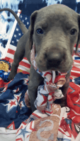 Great Dane Puppies for sale in French Village, MO 63036, USA. price: NA