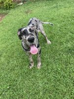 Great Dane Puppies for sale in Douglas County, GA, USA. price: NA