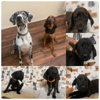 Great Dane Puppies for sale in Tucson, AZ, USA. price: NA