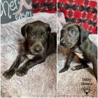 Great Dane Puppies for sale in Lufkin, TX 75901, USA. price: NA