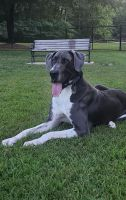 Great Dane Puppies for sale in Greensboro, NC, USA. price: NA